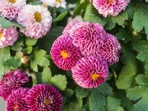 Purpurowy chryzantemy kwitnienie Zdjęcie Stock
