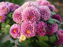 Purpurowy chryzantemy kwitnienie Zdjęcia Royalty Free