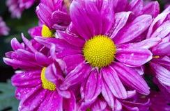 Purpurowy chryzantemy stokrotki kwiat Obrazy Stock