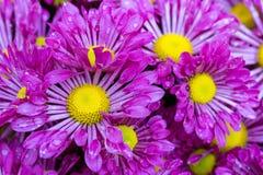 Purpurowy chryzantemy stokrotki kwiat Zdjęcie Royalty Free