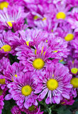 Purpurowy chryzantemy stokrotki kwiat Zdjęcia Royalty Free