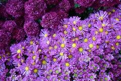 Purpurowy chryzantemy tło Zdjęcia Stock