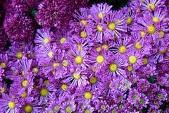 Purpurowy chryzantemy tło Obrazy Stock