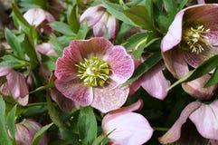 Purpurowy ciemiernika kwiat boże narodzenia Wzrastał Fotografia Stock