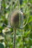 Purpurowy cirsium vulgare, oszczepowy oset/ zdjęcie royalty free