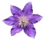 Purpurowy clematis Zdjęcia Stock