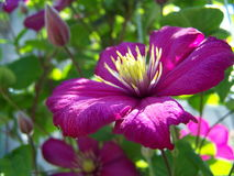 Purpurowy clematis Obraz Royalty Free