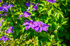 Purpurowy clematis Fotografia Royalty Free