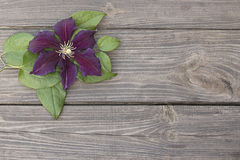 Purpurowy clematis kwitnie na drewnianym tle Zdjęcie Stock