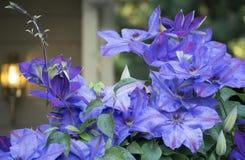 Purpurowy Clematis w kwiacie w frontowym jardzie Fotografia Royalty Free