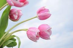 Purpurowy Clematis z wodnymi beadsPink tulipanami Obrazy Royalty Free