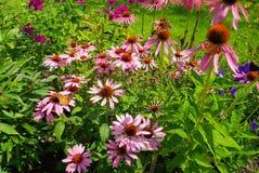 Purpurowy Coneflower Zdjęcie Royalty Free