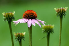 Purpurowy Coneflower Obrazy Royalty Free
