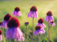 Purpurowy Coneflowers przy świtem Zdjęcia Royalty Free