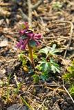 Purpurowy corydalis kwiat Obrazy Stock