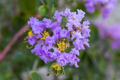 Purpurowy crape mirtu kwiatu lagerstroemia z żółtym pollen obrazy royalty free