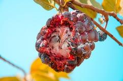 Purpurowy custard jabłko z czarną mrówką zdjęcie royalty free