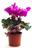 Purpurowy cyklamenu kwiat obraz stock