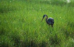 Purpurowy Czapli w polu samotnie Zdjęcie Stock