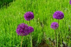Purpurowy czosnek kwitnie z jaskrawym - zielony tło Zdjęcie Stock