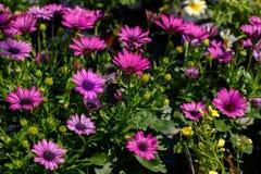 Purpurowy Daisybush w kwiacie Zdjęcie Royalty Free