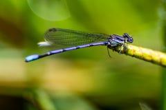Purpurowy dragonfly Zdjęcie Stock