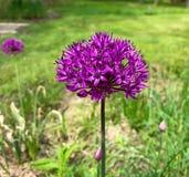 Purpurowy dziki kwiat Obrazy Royalty Free