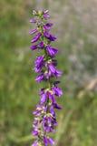 Purpurowy dzwonkowy kwiat, bluebell, harebell w polu Obraz Royalty Free
