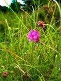 Purpurowy Dzwonkowy Wrzos fotografia stock