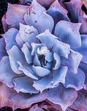 Purpurowy Echeveria Afterglow Obrazy Royalty Free