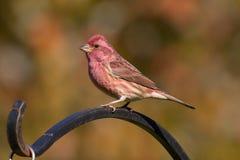 Purpurowy Finch obraz royalty free