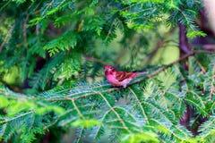 Purpurowy Finch zdjęcie royalty free