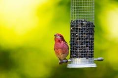 Purpurowy Finch zdjęcia stock