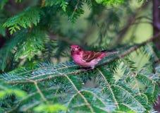 Purpurowy Finch fotografia stock