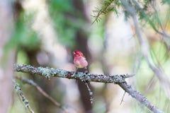 Purpurowy Finch obrazy royalty free