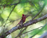 Purpurowy Finch obrazy stock