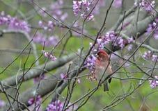 Purpurowy Finch 2 Zdjęcia Stock