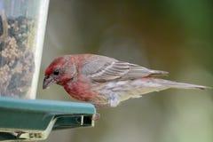 Purpurowy Finch obraz stock