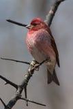 Purpurowy Finch na Naturalnej żerdzi Fotografia Stock