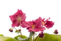 purpurowy fiołkowy biel Obraz Royalty Free