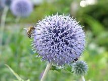 Purpurowy fiołkowy kwiat Obrazy Royalty Free