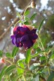 Purpurowy fuksja kwiat fotografia stock