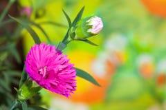 Purpurowy goździk kwitnie z pączkiem Obraz Stock