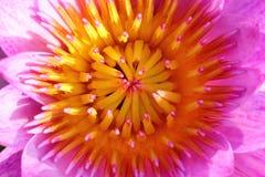 purpurowy grążel Obrazy Stock