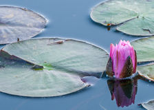 Purpurowy grążel Zdjęcia Royalty Free