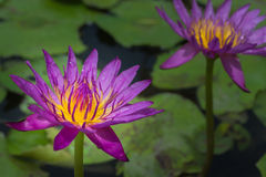 Purpurowy grążel Obraz Royalty Free