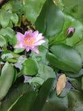 Purpurowy grążel Zdjęcia Stock