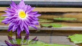 Purpurowy grążel Fotografia Royalty Free