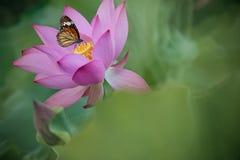 Purpurowy grążel i motyl dla BG obrazy stock