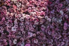 Purpurowy Heuchera hybrydu obsydian Jaskrawi naturalni ultrafioletowi liście Heuchera Dekoracyjny ulistnienia tło, tapeta lub Fotografia Stock